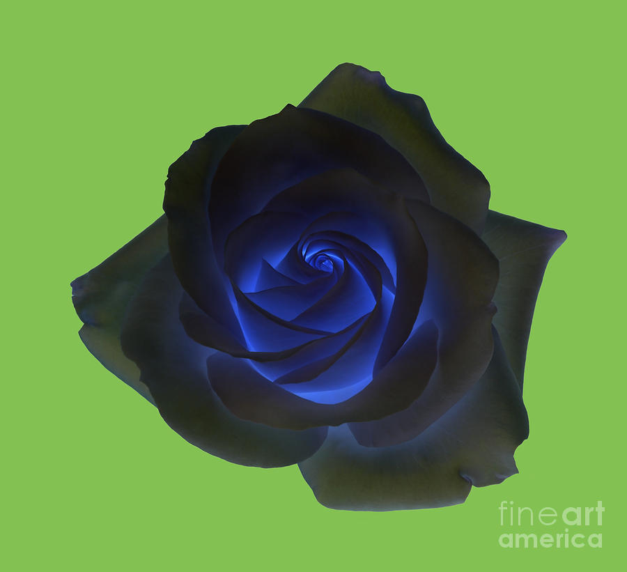16cf5d333d2f Black Rose With Vibrant Blue Petals At Centre On Green Photograph ...