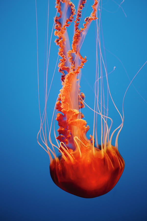 Underwater Photograph - Black Sea Nettle Jellyfish Underwater by Mint Images - Paul Edmondson