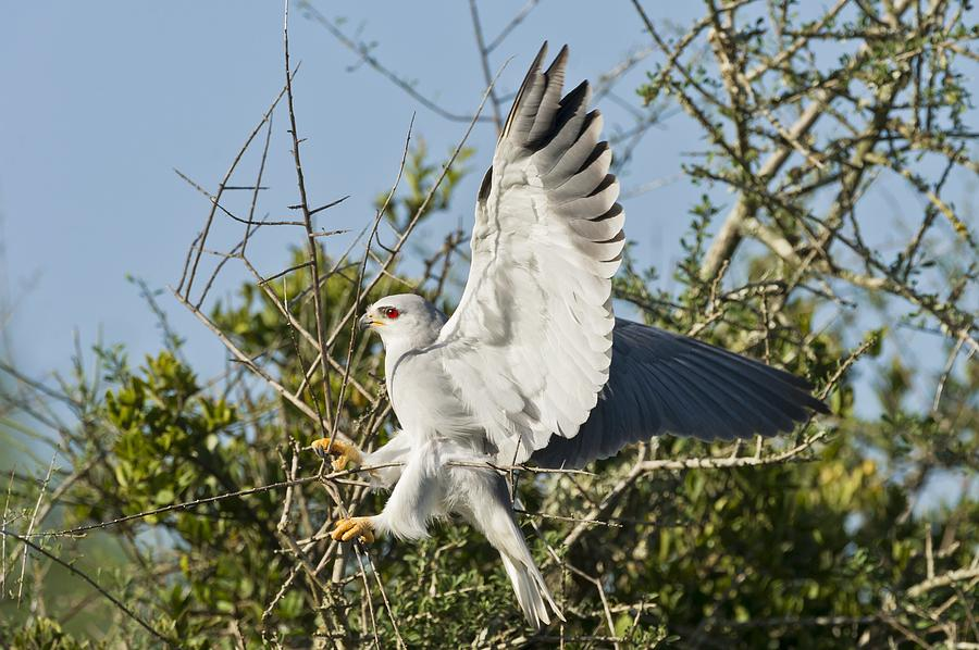 Biology Photograph - Black-shouldered Kite by Science Photo Library