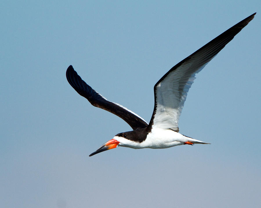 Black Skimmer by Steve Kaye