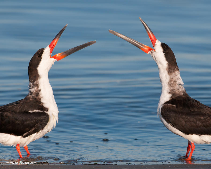 Black Skimmers by Avian Resources