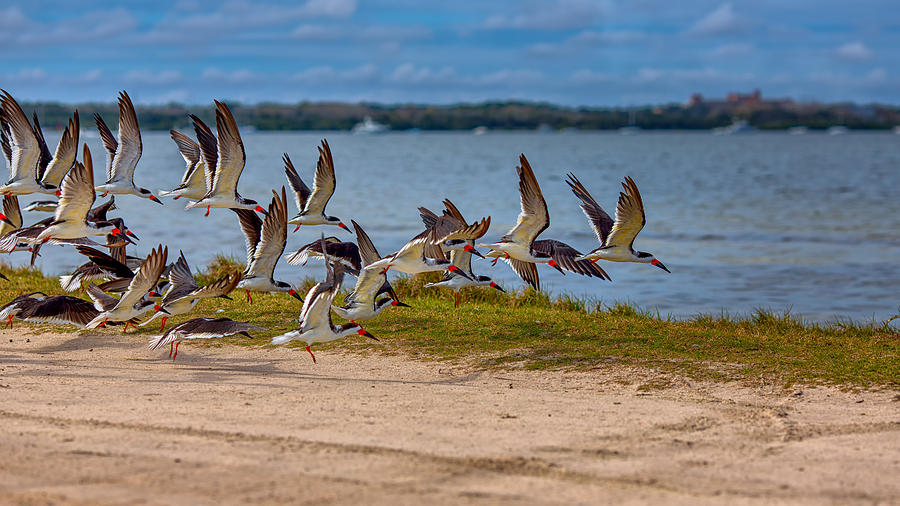 Black Skimmers Coming In For A Landing by John M Bailey