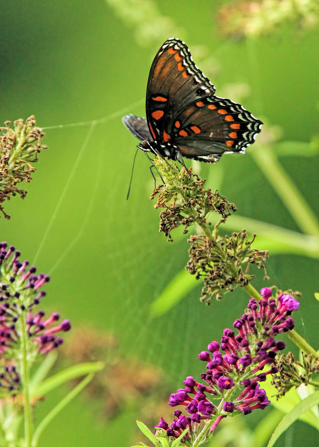 black swallowtail and spirder web photograph by geraldine scull