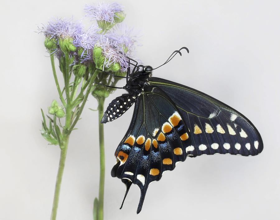 Blue Mist Photograph - Black Swallowtail II by David and Carol Kelly