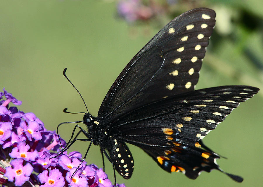 Butterfly Photograph - Black Swallowtail by Theo