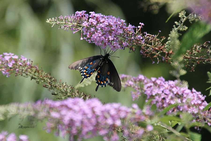 Sooc Photograph - Black Swallowtail1-featured In Newbies-nature Wildlife- Digital Veil-comfortable Art Groups Groups by EricaMaxine  Price
