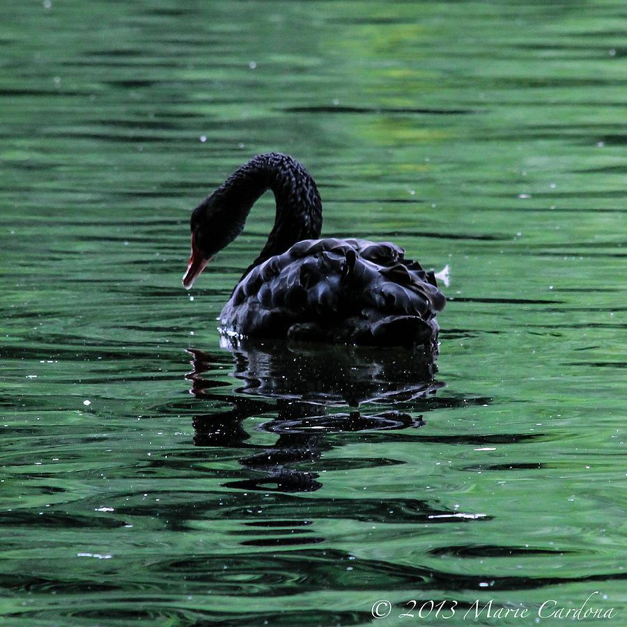 Black Swan I Photograph by Marie  Cardona