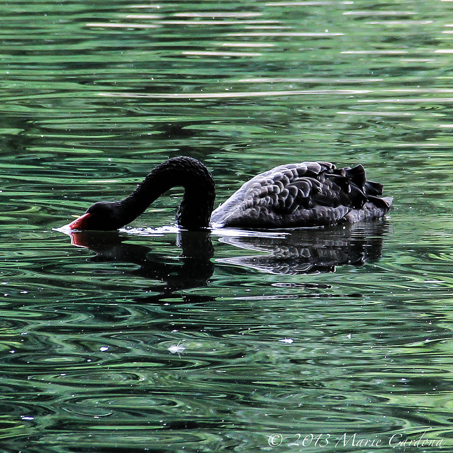 Black Swan II Photograph by Marie  Cardona