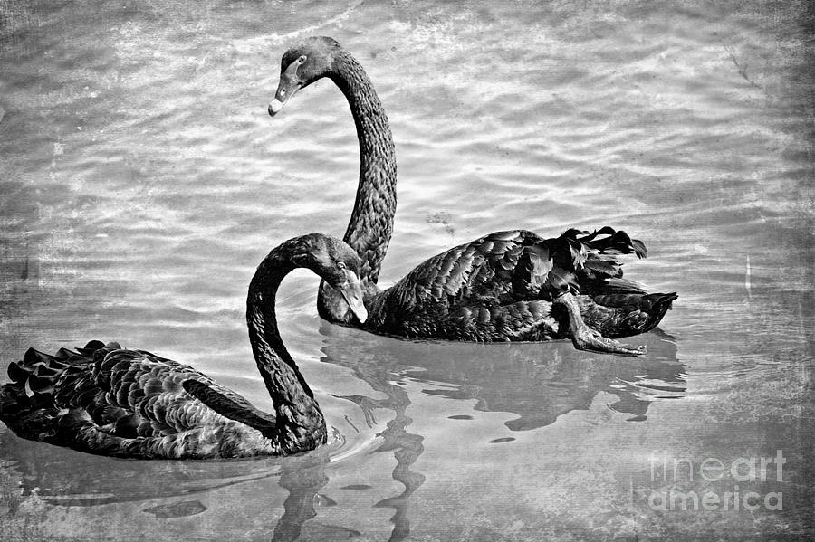 Swan Photograph - Black Swans - Black And White Textures by Carol Groenen