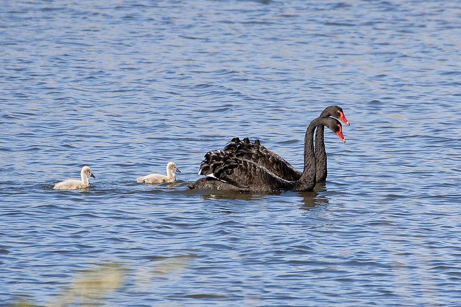 Australia Photograph - Black Swans by Steven Ralser