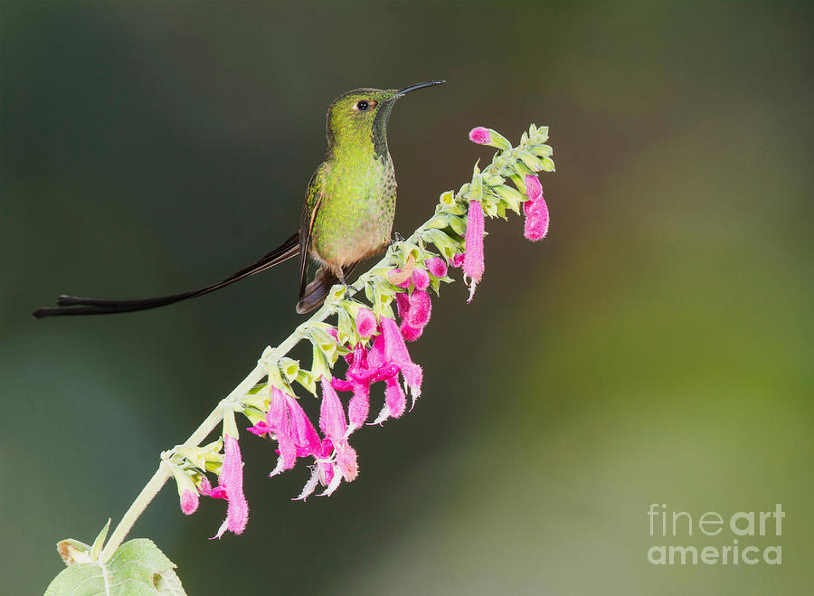 Andes Fauna Photograph - Black-tailed Train-bearer Hummingbird by Dan Suzio
