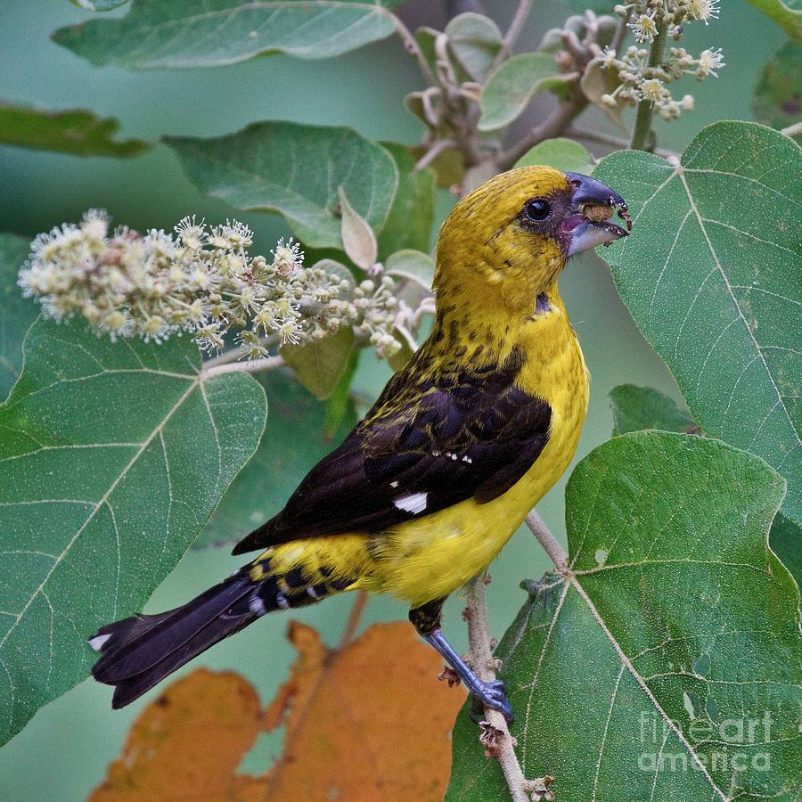Black-thighed Grosbeak Photograph