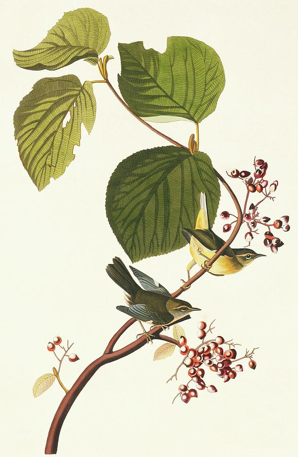 Illustration Photograph - Black-throated Blue Warbler by Natural History Museum, London/science Photo Library