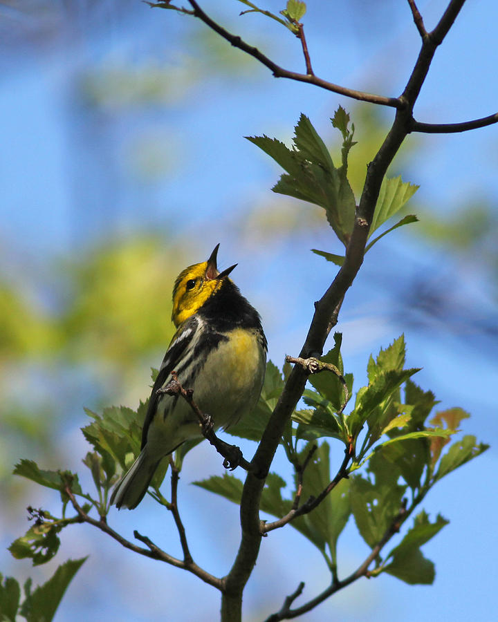 Black Photograph - Black-throated Green Warbler by Brian Magnier
