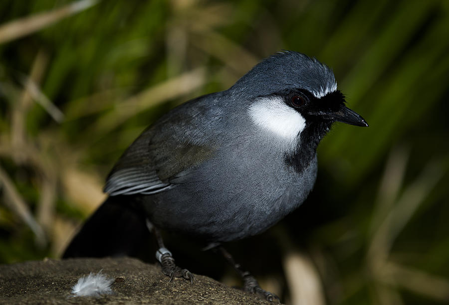 Aviary Photograph - Black-throated Laughing Thrush by Gerald Murray Photography
