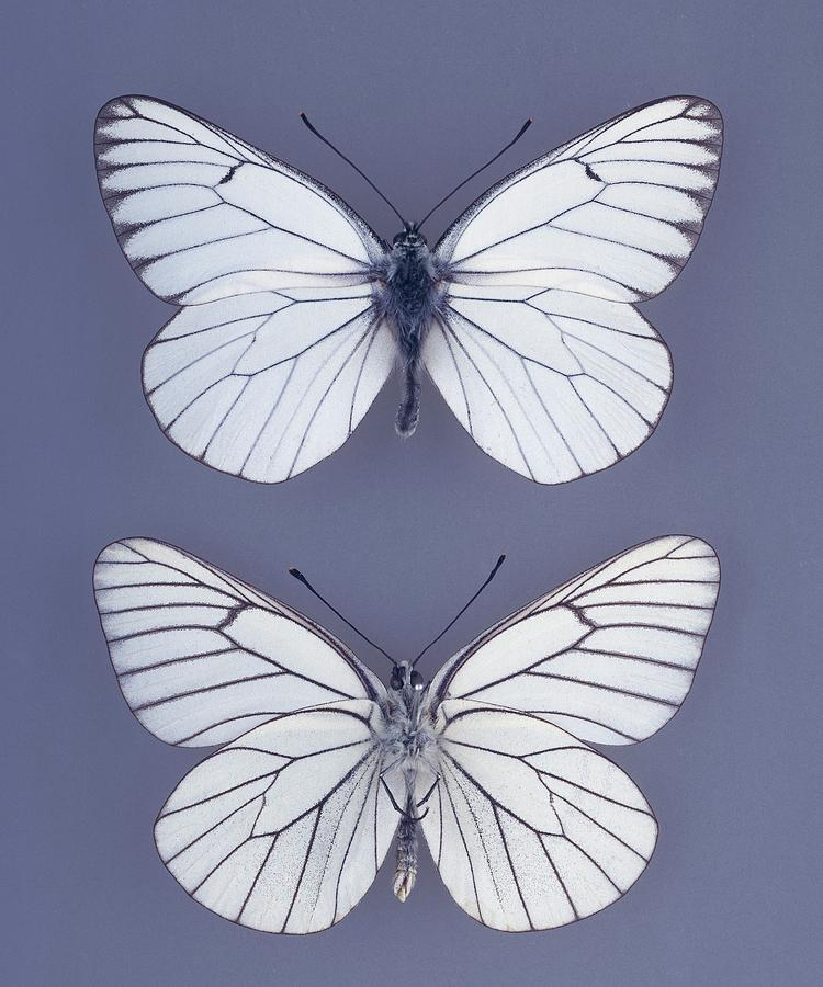 Colour Photograph - Black-veined White Butterfly by Natural History Museum, London/science Photo Library