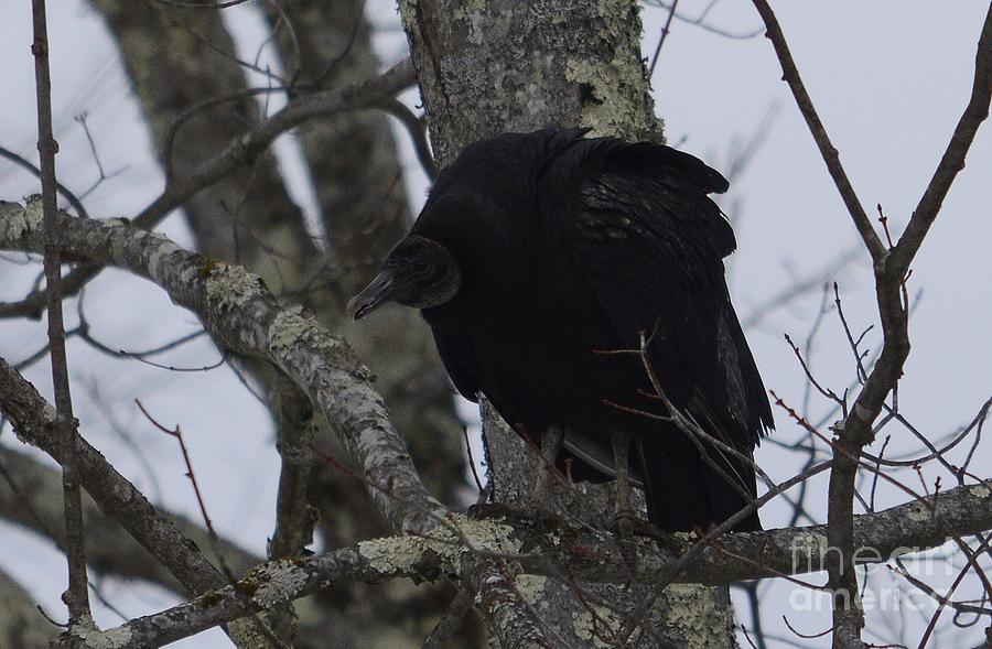 West Virginia Birds Photograph - Black Vulture by Randy Bodkins