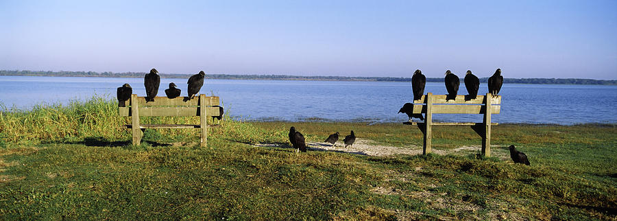 Horizontal Photograph - Black Vultures Coragyps Atratus by Animal Images
