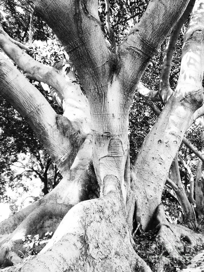 Tree Of Life Photograph - Black White Tree Large Trunk Nature Sculpture Fall Fine Art Photography Deco by Marie Christine Belkadi