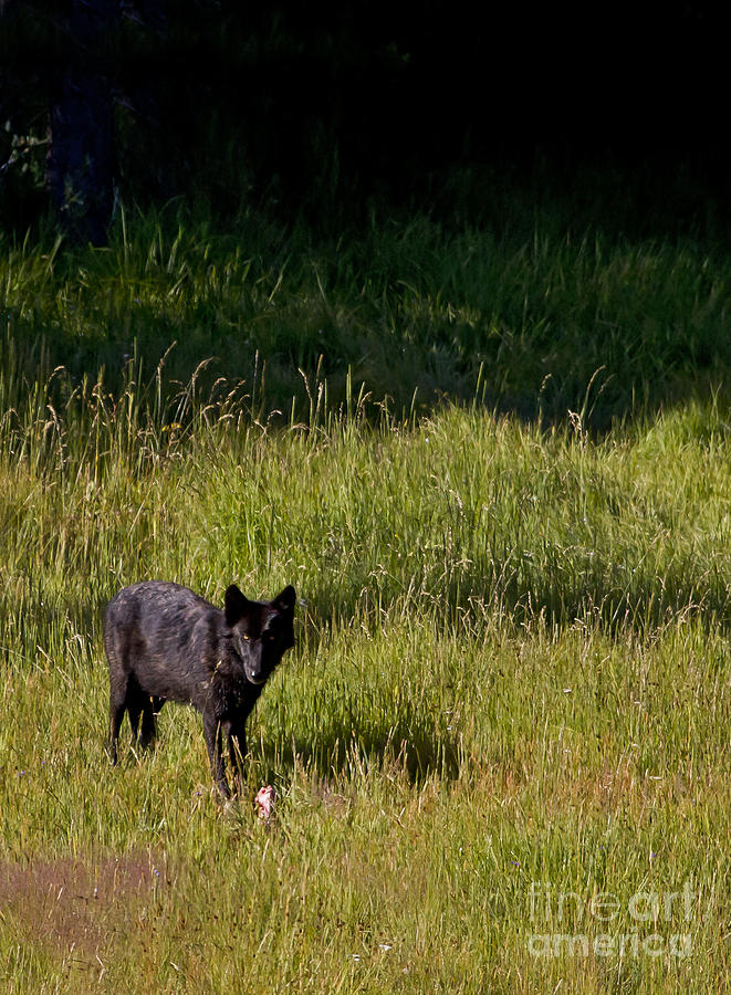 Wolf Photograph - Black Wolf   7251 by J L Woody Wooden