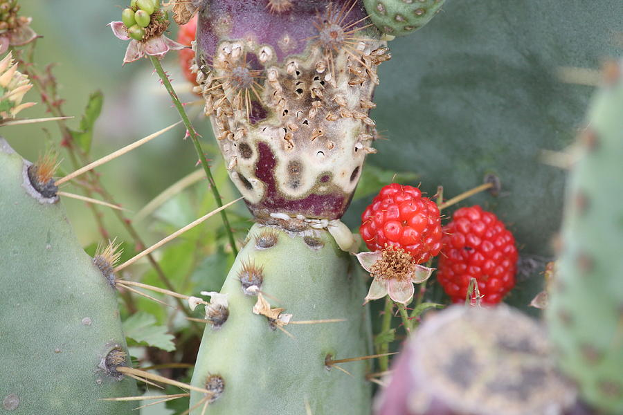 Blackberries Photograph - Blackberries Are Coming by Lorri Crossno