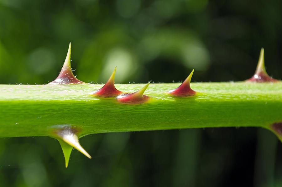 Prick Photograph - Blackberry Thorns by Tikvahs Hope