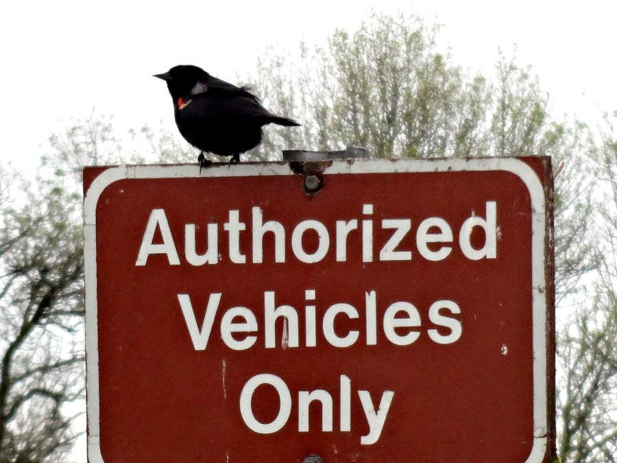 Refuges Photograph - Blackbird On Patrol by Lizbeth Bostrom