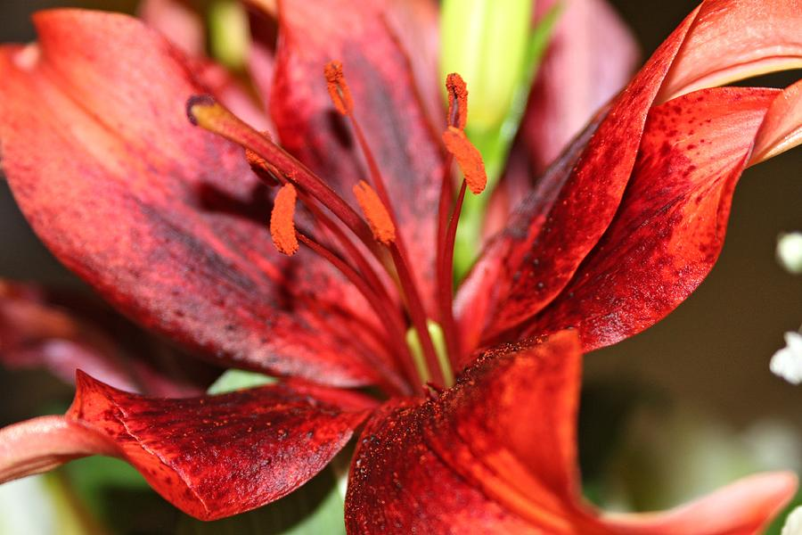 Beauty Photograph - Blackout Asiatic Lily by Jillian Gomez