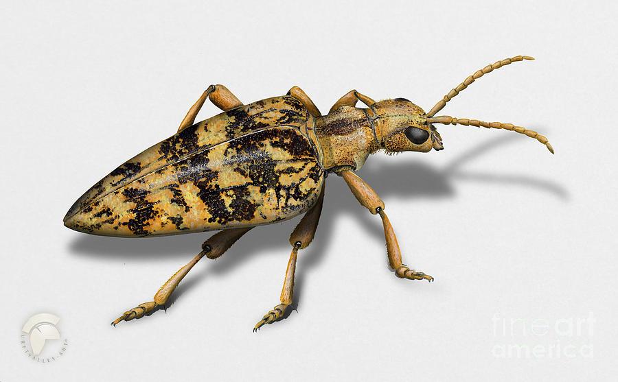 blackspotted pliers support beetle - Rhagium mordax -  gemarmerde eikenbok - Rhagie mordante Painting
