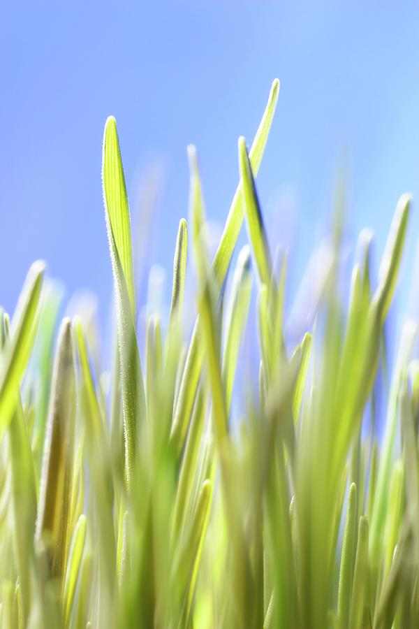 Agricultural Photograph - Blades Of Wheatgrass by Cordelia Molloy