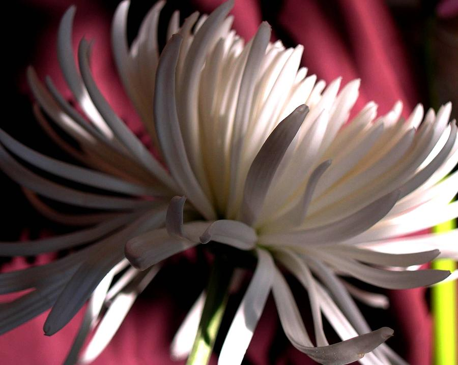 Floral Photograph - Blanche 94 by Gilda Pontbriand