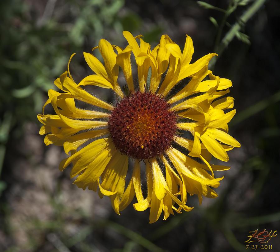 Wildflower Photograph - Blanket Flower by Kenneth Hadlock