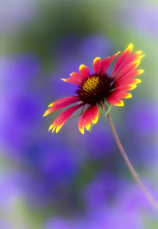 Gaillardia Photograph - Blanket Flower  by Saija  Lehtonen
