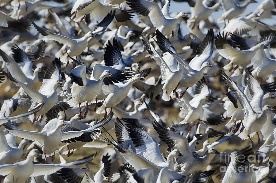 Snow Geese Photograph - Blast Off by Robert Wicker
