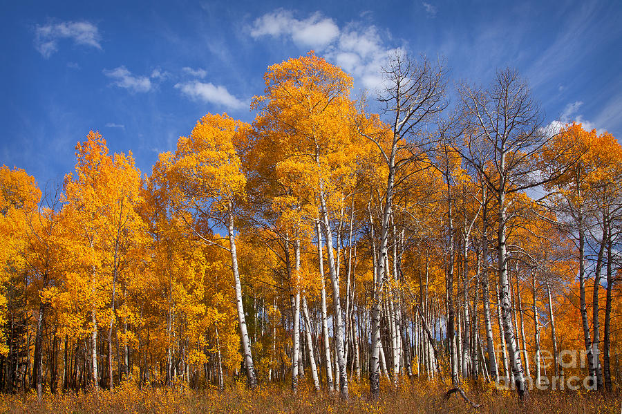 Aspens Photograph - Blaze by Aaron Whittemore