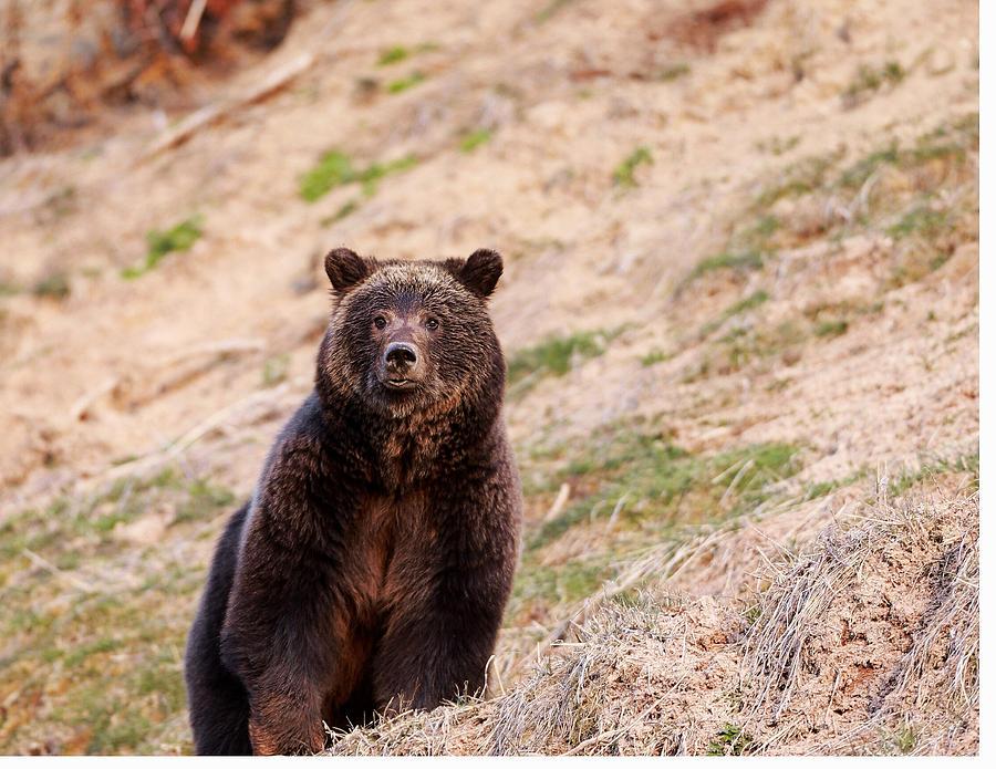 Grizzly Bear Photograph - Blaze by David  Treick