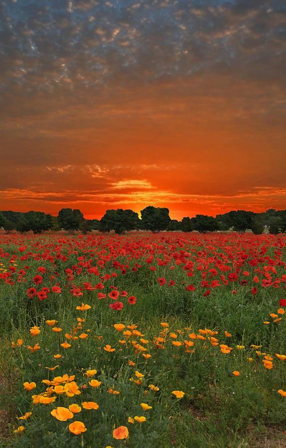 Poppy Photograph - Blaze Of Glory by Lynn Bauer