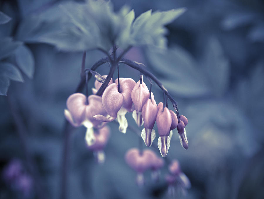Lamprocapnos Spectabilis Photograph - Bleeding Heart Flower by Frank Tschakert