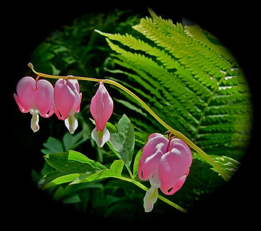 Flowers Photograph - Bleeding Hearts by Elizabeth Tillar