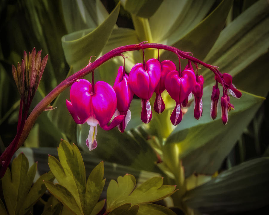 Bleeding Hearts Digital Art - Bleeding Hearts by Jill Balsam