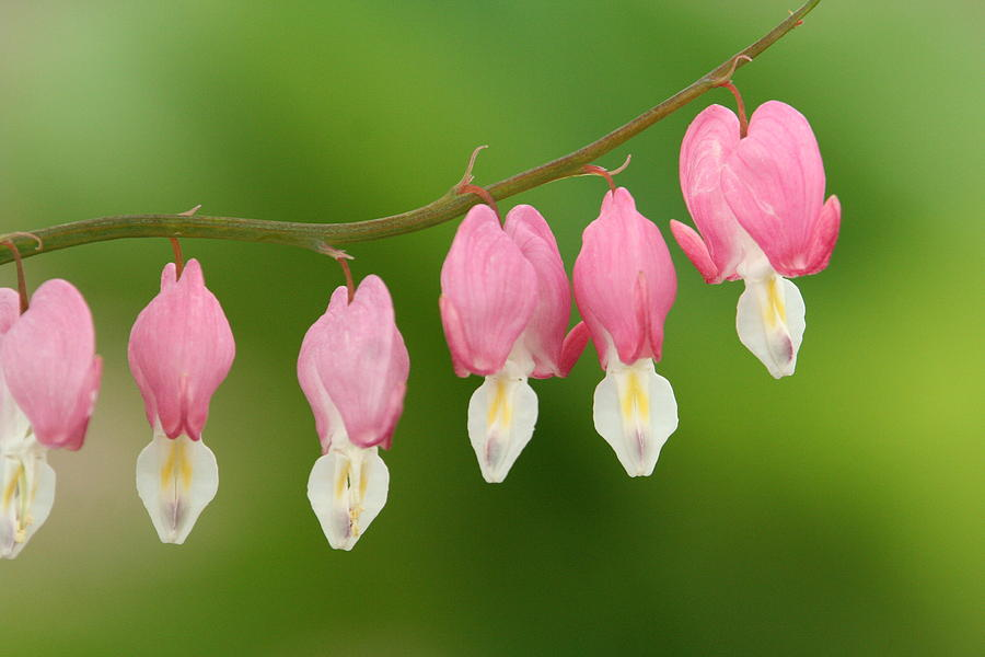 Flowers Photograph - Bleeding Hearts by Karen Lindquist