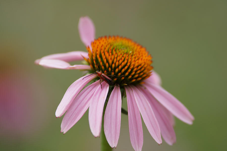 Cone Flowers Photograph - Blending In by Ernie Echols