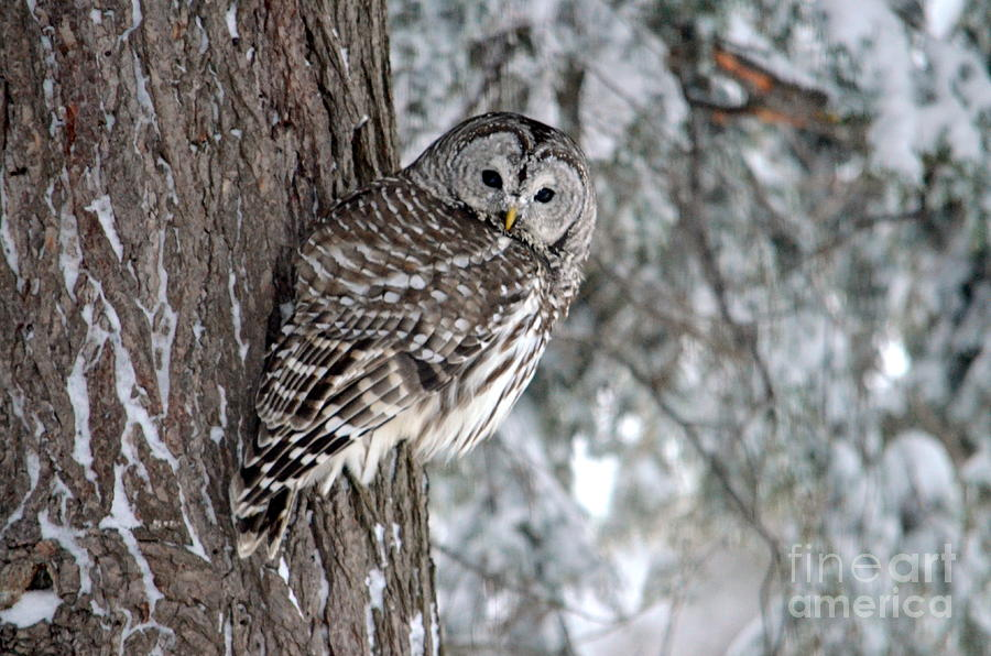 Owl Photograph - Blending In by Jaunine Roberts