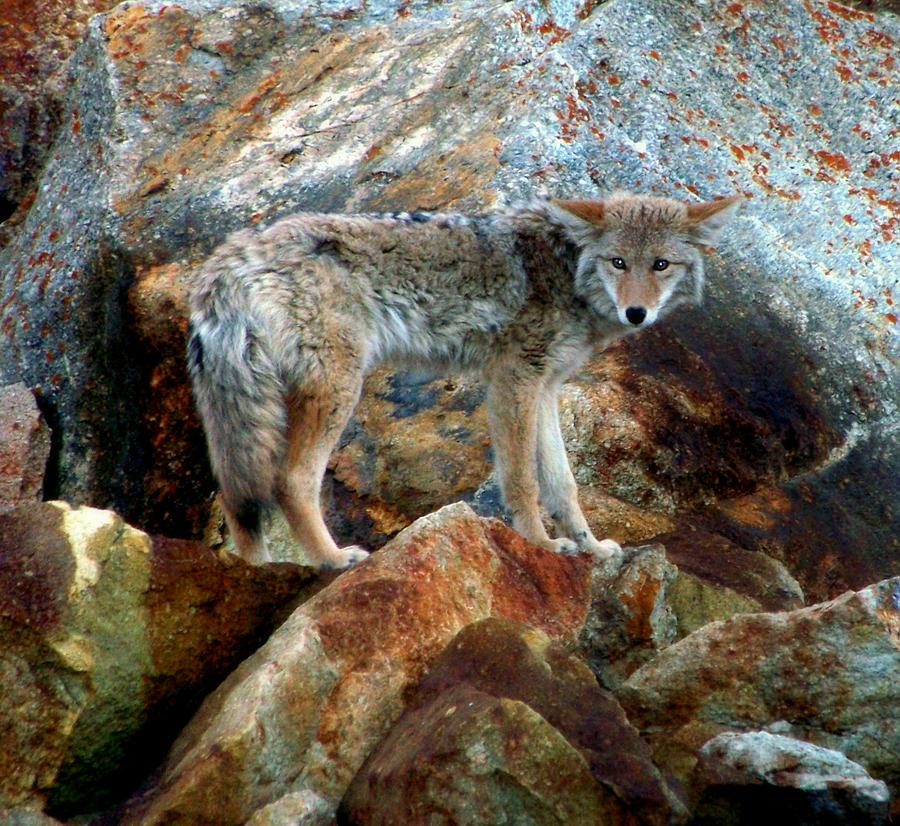 Coyotes Photograph - Blending In Nature by Karen Wiles