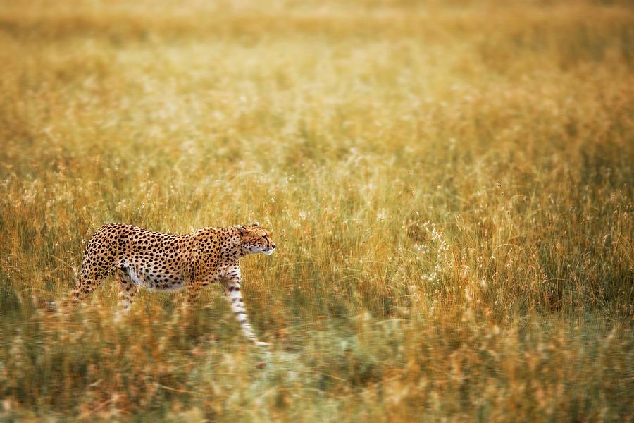 Cheetah Photograph - Blending by Richard Susanto