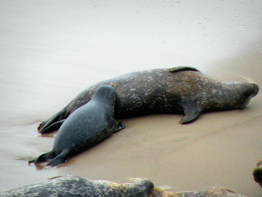 Seal Photograph - Bliss by Andrea Cullinane