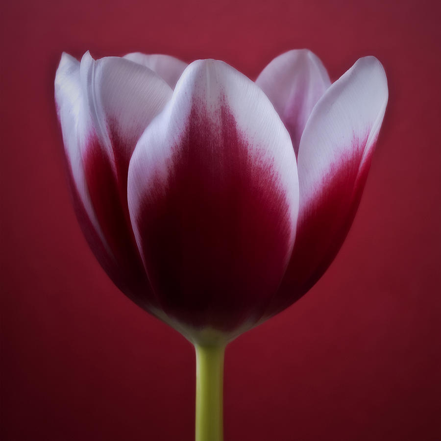 Abstract Red White Flowers Tulips Macro Photography Art