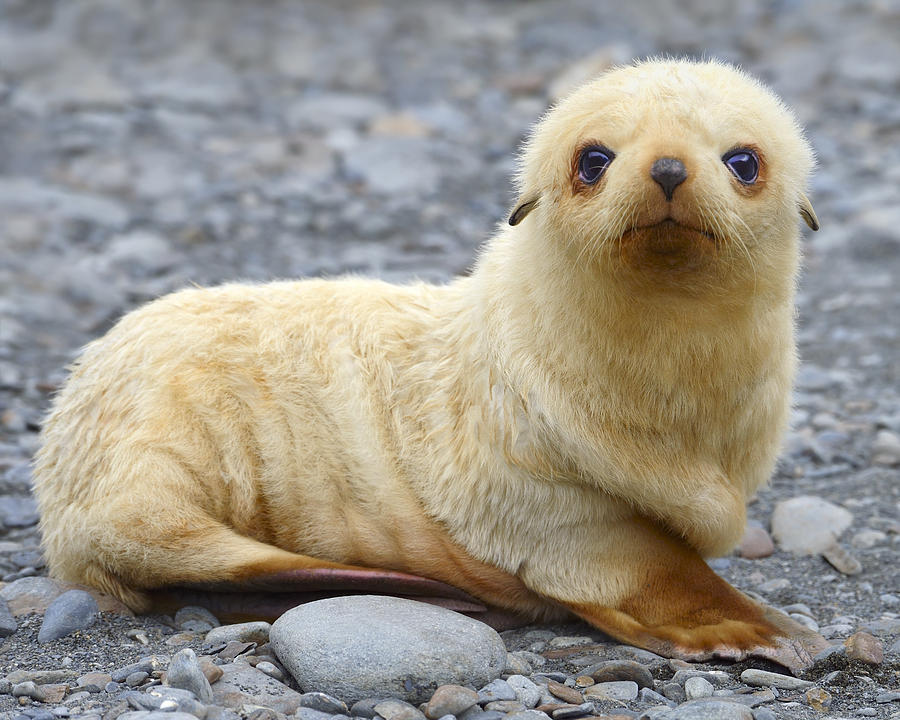 Antarctic Fur Seal Photograph - Blondie by Tony Beck