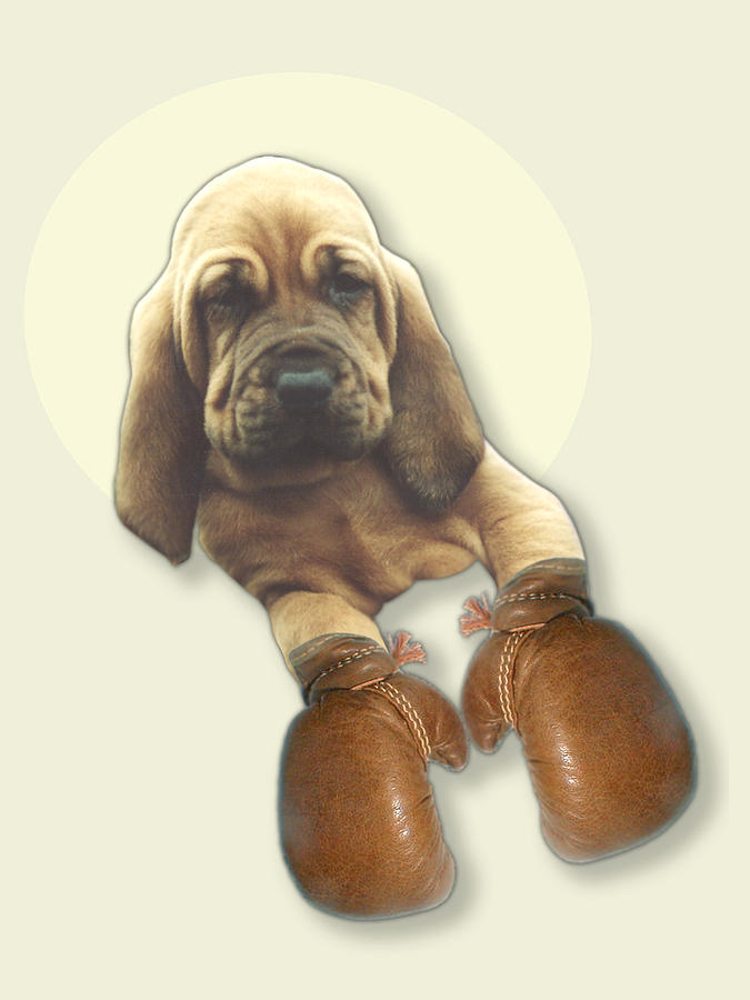 Bloodhound Photograph - Bloodhound Boxer by Jimmy Collins