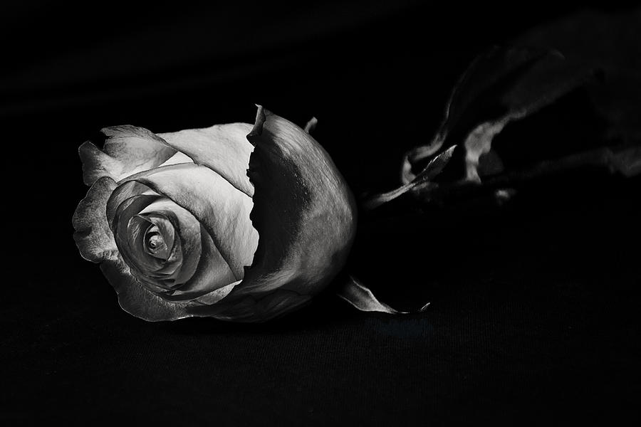 Rose Photograph - Bloodless Rose by Vanessa Valdes